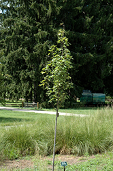 Armstrong Gold Red Maple (Acer rubrum 'JFS-KW78') at New Garden Landscaping & Nursery