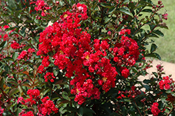 Dynamite Crapemyrtle (Lagerstroemia indica 'Whit II') at New Garden Landscaping & Nursery