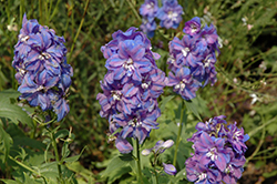Guardian Blue Larkspur (Delphinium 'Guardian Blue') at New Garden Landscaping & Nursery
