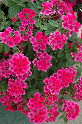 EnduraScape™ Hot Pink Verbena (Verbena 'Balendopin') at New Garden Landscaping & Nursery
