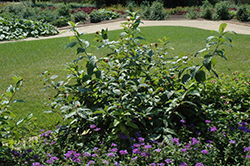 Button Bush (Cephalanthus occidentalis) at New Garden Landscaping & Nursery