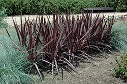 Purple Sensation Cordyline (Cordyline 'Purple Sensation') at New Garden Landscaping & Nursery