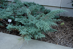 Angelica Blue Juniper (Juniperus x media 'Angelica Blue') at New Garden Landscaping & Nursery