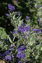First Choice Caryopteris (Caryopteris x clandonensis 'First Choice') at New Garden Landscaping & Nursery