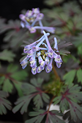 Purple Leaf Corydalis (Corydalis flexuosa 'Purple Leaf') at New Garden Landscaping & Nursery