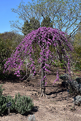 Lavender Twist Redbud (Cercis canadensis 'Covey') at New Garden Landscaping & Nursery