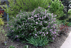 Bloomerang® Lilac (Syringa 'Bloomerang') at New Garden Landscaping & Nursery
