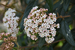 Prague Viburnum (Viburnum x pragense) at New Garden Landscaping & Nursery