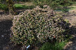 Eleanor Taber™ Indian Hawthorn (Rhaphiolepis indica 'Conor') at New Garden Landscaping & Nursery