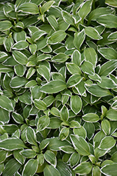 Variegated Parrot Feather (Alstroemeria psittacina 'Variegata') at New Garden Landscaping & Nursery
