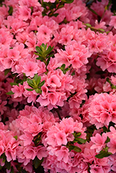 Coral Bells Azalea (Rhododendron 'Coral Bells') at New Garden Landscaping & Nursery