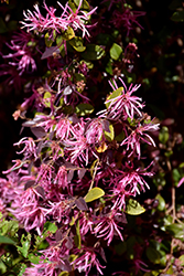 Burgundy Fringeflower (Loropetalum chinense 'Burgundy') at New Garden Landscaping & Nursery