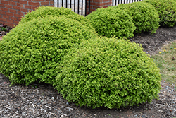 Dwarf Yaupon Holly (Ilex vomitoria 'Nana') at New Garden Landscaping & Nursery