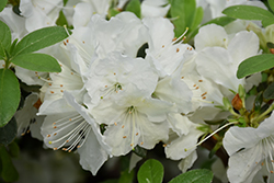 Girard's Pleasant White Azalea (Rhododendron 'Girard's Pleasant White') at New Garden Landscaping & Nursery