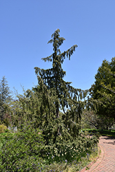 Weeping Nootka Cypress (Chamaecyparis nootkatensis 'Pendula') at New Garden Landscaping & Nursery