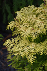 Cripps Gold Falsecypress (Chamaecyparis obtusa 'Crippsii') at New Garden Landscaping & Nursery