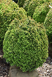 Dwarf English Boxwood (Buxus sempervirens 'Suffruticosa') at New Garden Landscaping & Nursery