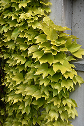 Fenway Park Boston Ivy (Parthenocissus tricuspidata 'Fenway Park') at New Garden Landscaping & Nursery