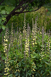 Carolina Moonlight False Indigo (Baptisia 'Carolina Moonlight') at New Garden Landscaping & Nursery