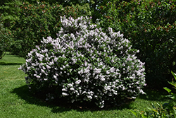 Miss Kim Lilac (Syringa patula 'Miss Kim') at New Garden Landscaping & Nursery