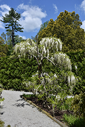 White Japanese Wisteria (Wisteria floribunda 'Alba') at New Garden Landscaping & Nursery