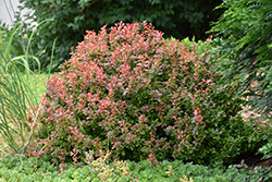 Admiration Japanese Barberry (Berberis thunbergii 'Admiration') at New Garden Landscaping & Nursery