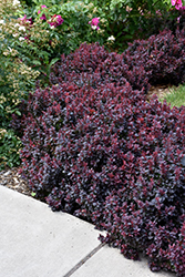 Concorde Japanese Barberry (Berberis thunbergii 'Concorde') at New Garden Landscaping & Nursery