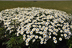 Becky Shasta Daisy (Leucanthemum x superbum 'Becky') at New Garden Landscaping & Nursery