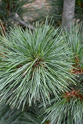 Silver Whispers Swiss Stone Pine (Pinus cembra 'Silver Whispers') at New Garden Landscaping & Nursery