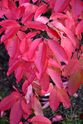 Sourwood (Oxydendron arboreum) at New Garden Landscaping & Nursery