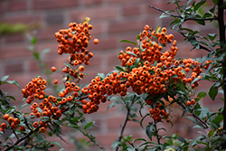 Scarlet Firethorn (Pyracantha coccinea) at New Garden Landscaping & Nursery