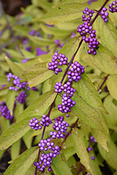 Early Amethyst Beautyberry (Callicarpa dichotoma 'Early Amethyst') at New Garden Landscaping & Nursery