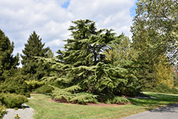 Golden Deodar Cedar (Cedrus deodara 'Aurea') at New Garden Landscaping & Nursery