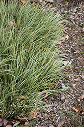 Variegated Grassy-Leaved Sweet Flag (Acorus gramineus 'Variegatus') at New Garden Landscaping & Nursery