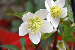 Gold Collection® Jacob Hellebore (Helleborus niger 'Jacob') at New Garden Landscaping & Nursery