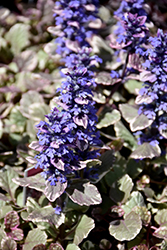 Burgundy Glow Bugleweed (Ajuga reptans 'Burgundy Glow') at New Garden Landscaping & Nursery