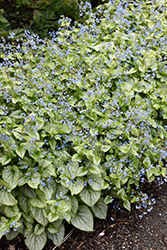 Jack Frost Bugloss (Brunnera macrophylla 'Jack Frost') at New Garden Landscaping & Nursery