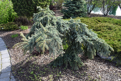 Weeping Blue Spruce (Picea pungens 'Pendula') at New Garden Landscaping & Nursery
