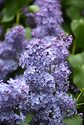 Blue Skies Lilac (Syringa vulgaris 'Blue Skies') at New Garden Landscaping & Nursery