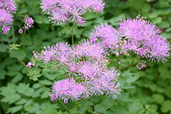 Meadow Rue (Thalictrum aquilegifolium) at New Garden Landscaping & Nursery