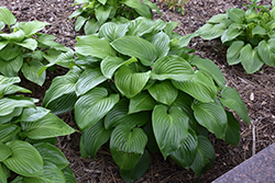 Plantain Lily (Hosta plantaginea) at New Garden Landscaping & Nursery