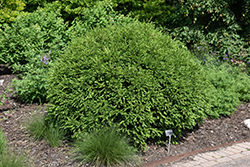 Green Gem Boxwood (Buxus 'Green Gem') at New Garden Landscaping & Nursery
