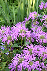 Petite Wonder Beebalm (Monarda 'Petite Wonder') at New Garden Landscaping & Nursery