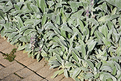 Lamb's Ears (Stachys byzantina) at New Garden Landscaping & Nursery