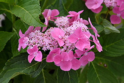 Let's Dance® Starlight Hydrangea (Hydrangea macrophylla 'Lynn') at New Garden Landscaping & Nursery
