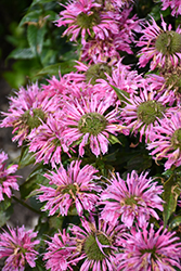 Pardon My Pink Beebalm (Monarda didyma 'Pardon My Pink') at New Garden Landscaping & Nursery