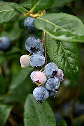 Blue Jay Blueberry (Vaccinium corymbosum 'Blue Jay') at New Garden Landscaping & Nursery