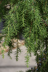 Broad Weeping Common Juniper (Juniperus communis 'Oblonga Pendula') at New Garden Landscaping & Nursery