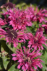 Cranberry Lace Beebalm (Monarda 'Cranberry Lace') at New Garden Landscaping & Nursery