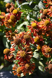 Ruby Tuesday Sneezeweed (Helenium 'Ruby Tuesday') at New Garden Landscaping & Nursery